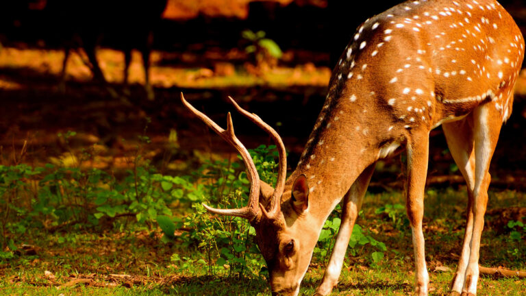 Deer. A peaceful animal in the planet.